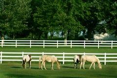 Het mooie paarden weiden Stock Afbeeldingen