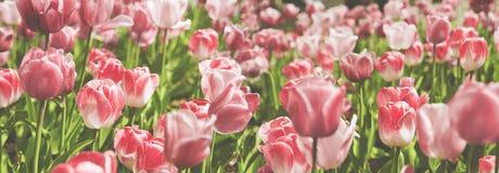 Het mooie panorama van partij van roze en nam tulpen met gre toe Stock Foto