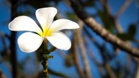 Het mooie plumeria groeien Stock Foto