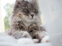 Het mooie portret van Cat Portrait A van een leuk, pluizig, charmant kattenclose-up royalty-vrije stock afbeeldingen