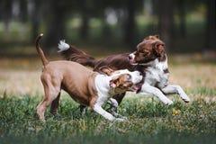 Het mooie puppy twee spelen in het park op aard Stock Afbeeldingen