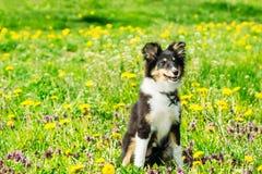 Het mooie puppy van de sheltiecollie in gras royalty-vrije stock foto's