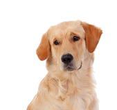 Het mooie ras van de Golden retrieverhond Royalty-vrije Stock Fotografie