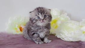 Het mooie rasechte pluizige katje geeuwt Scotsman 4K stock videobeelden