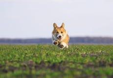 Het mooie rode hondpuppy Corgi loopt snel op groen gras in grappige de lenteweide uit plakkend zijn tong en weinig uit zich uitre royalty-vrije stock fotografie