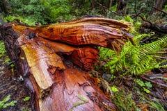 Het mooie rode hout van Westelijk Rood Cedar Tree royalty-vrije stock foto