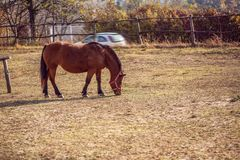 Het mooie rode paard weiden in landbouwbedrijf royalty-vrije stock afbeeldingen