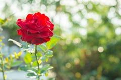 Het mooie rood bloeien nam in de tuin toe Royalty-vrije Stock Afbeelding
