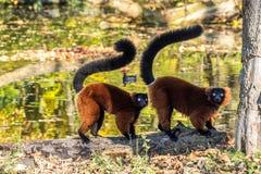 Het mooie rood ruffed maki, Varecia-rubra in een Duitse dierentuin stock foto's