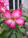 Het mooie roze bloem bloeien royalty-vrije stock foto