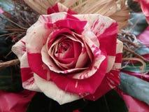 Het mooie roze en de room namen, rozen, bloem toe royalty-vrije stock foto