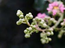 Het mooie roze omfloerst de boom van de Mirtebloem Stock Fotografie