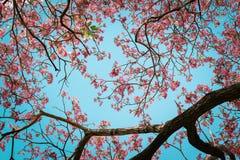 Het mooie roze trompetbloem bloeien Stock Afbeelding