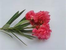 Het mooie roze van de Oleanderbloem royalty-vrije stock foto's