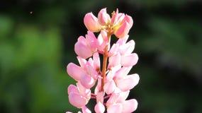 Het mooie roze van Lupine van de gebiedsbloem royalty-vrije stock afbeelding