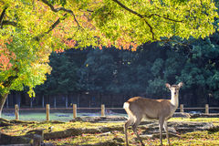 Het mooie seizoen van Nara met aardige kleurrijke esdoorn op de achtergrond Stock Fotografie