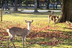 Het mooie seizoen van Nara met aardige kleurrijke esdoorn op de achtergrond Royalty-vrije Stock Afbeelding