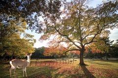 Het mooie seizoen van Nara met aardige kleurrijke esdoorn op de achtergrond Stock Afbeeldingen