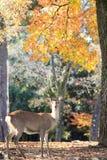 Het mooie seizoen van Nara met aardige kleurrijke esdoorn op de achtergrond Royalty-vrije Stock Foto