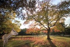 Het mooie seizoen van Nara met aardige kleurrijke esdoorn op de achtergrond Royalty-vrije Stock Foto's
