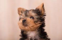 Het mooie stellen van puppyyorkshire Terrier Stock Afbeeldingen