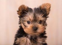 Het mooie stellen van puppyyorkshire Terrier Royalty-vrije Stock Foto's