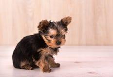 Het mooie stellen van puppyyorkshire Terrier Royalty-vrije Stock Foto