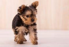 Het mooie stellen van puppyyorkshire Terrier Royalty-vrije Stock Afbeelding