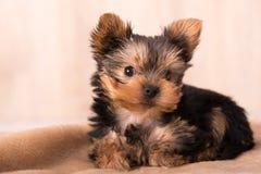 Het mooie stellen van puppyyorkshire Terrier Stock Foto