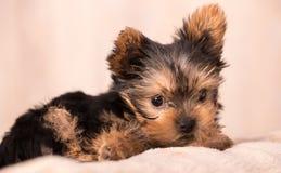 Het mooie stellen van puppyyorkshire Terrier Royalty-vrije Stock Afbeeldingen