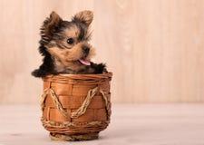 Het mooie stellen van puppyyorkshire Terrier Stock Foto's