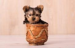 Het mooie stellen van puppyyorkshire Terrier Stock Fotografie