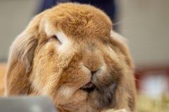 Het mooie tam konijn stellen bij het landbouwbedrijf stock fotografie