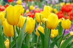 Het mooie tulpenbloem groeien in tuin Stock Fotografie