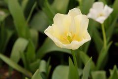 Het mooie tulpenbloem groeien in tuin Stock Afbeeldingen