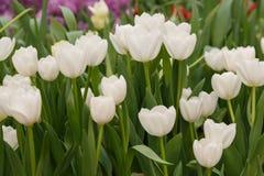 Het mooie tulpenbloem groeien in tuin Royalty-vrije Stock Afbeeldingen