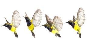Het mooie vliegen Vogel olijf-Gesteund Sunbird isoleert op Witte Achtergrond De Inzamelings vliegende Vogel stock illustratie