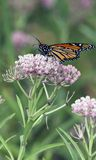 Het mooie Voeden van de Vlinder van de Monarch op Roze Bloemen Royalty-vrije Stock Fotografie
