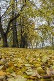 Het mooie voetpad van de lindesteeg dat met gevallen bladeren, autum wordt uitgestrooid Stock Fotografie