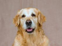 Het mooie vriendschappelijke Gouden portret van de Retriever Royalty-vrije Stock Afbeeldingen