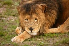 Het mooie wilde mannelijke dierlijke portret van de Leeuw royalty-vrije stock afbeelding
