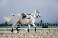 Het mooie witte paard lopen stock foto's
