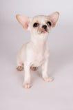 Het mooie witte puppy Chihuahua ziet zorgvuldig eruit Stock Foto's