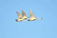 Het mooie zwanen vliegen Royalty-vrije Stock Fotografie