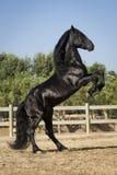 Het mooie zwarte paard grootbrengen Stock Fotografie