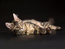 Het mooie zwarte tabby katje van de Wasbeer van Maine op zwarte Royalty-vrije Stock Foto