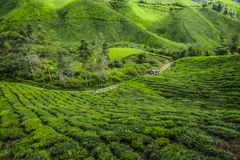 Het mooiste landschap bij theeaanplanting in Maleisië Stock Foto