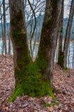 Het mos behandelde v-vormige boom in het bos Stock Foto