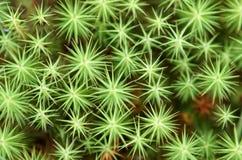 Het mos (cuspidatum van S.) textuur van het veenmos Stock Foto