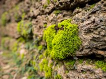 Het mos is een kleine installatie De meesten worden gevonden op vochtige gebieden en ontvangen weinig licht Vond gewoonlijk in bo Royalty-vrije Stock Fotografie